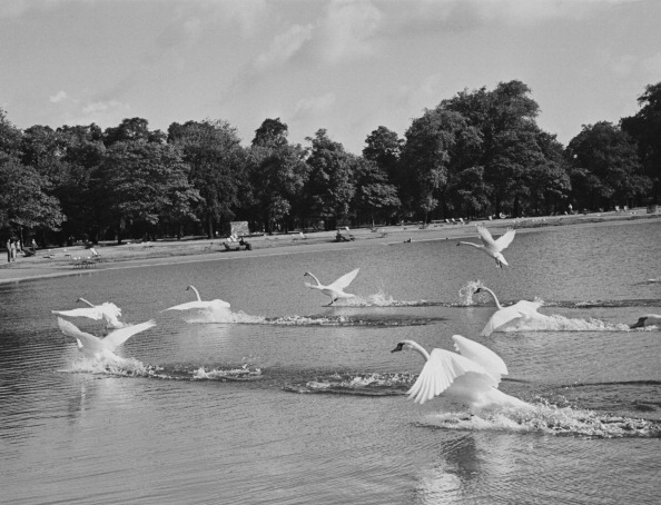 Swans Take Flight fine art photography