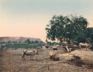 Cattle At Well