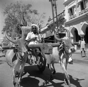 Mysore Oxen