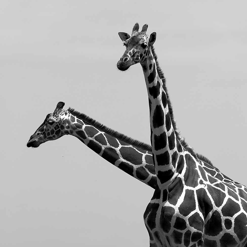 Two reticulated giraffes fine art photography