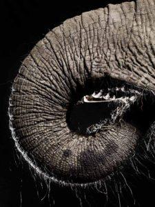 elephants trunk –