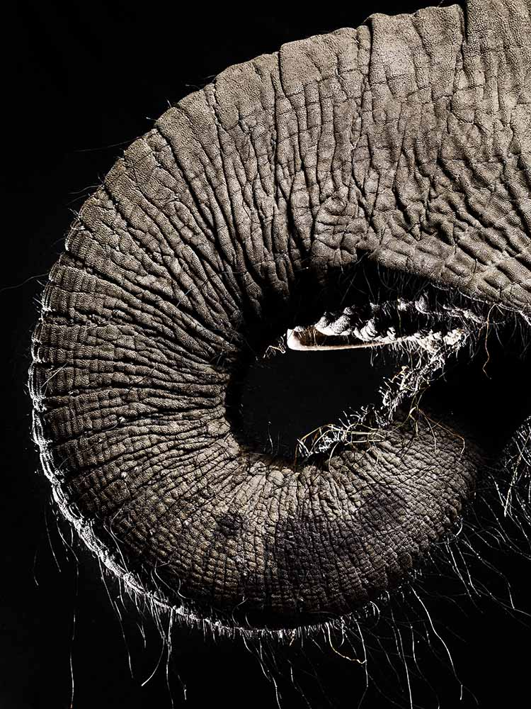 elephants trunk – fine art photography