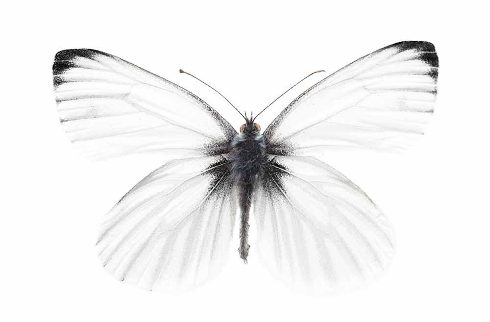 Studio shot of sharp-veined white butterfly fine art photography