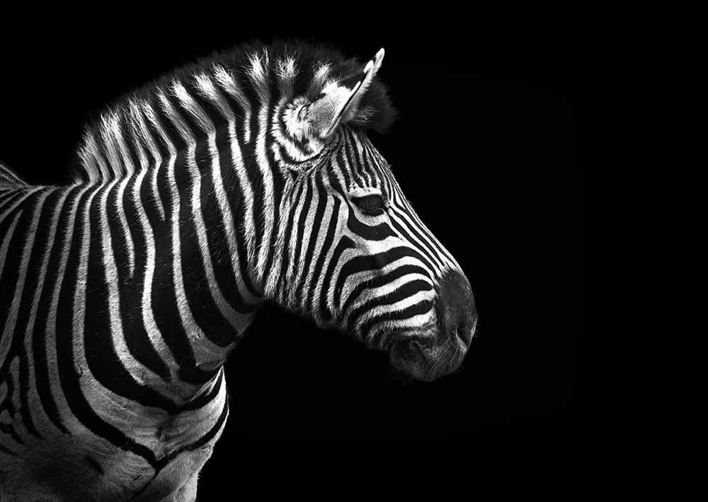 Zebra in black and white fine art photography