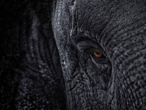 Elephant with red eye