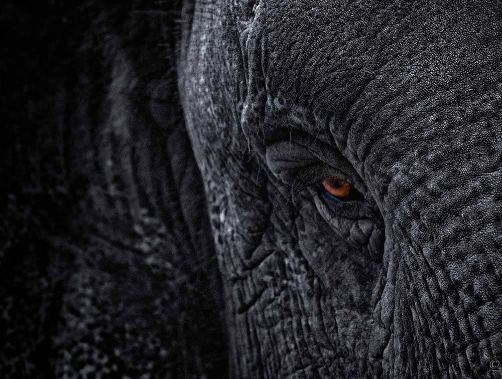 Elephant with red eye fine art photography