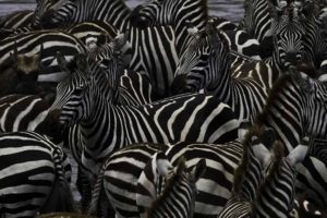 zebras at the river bank