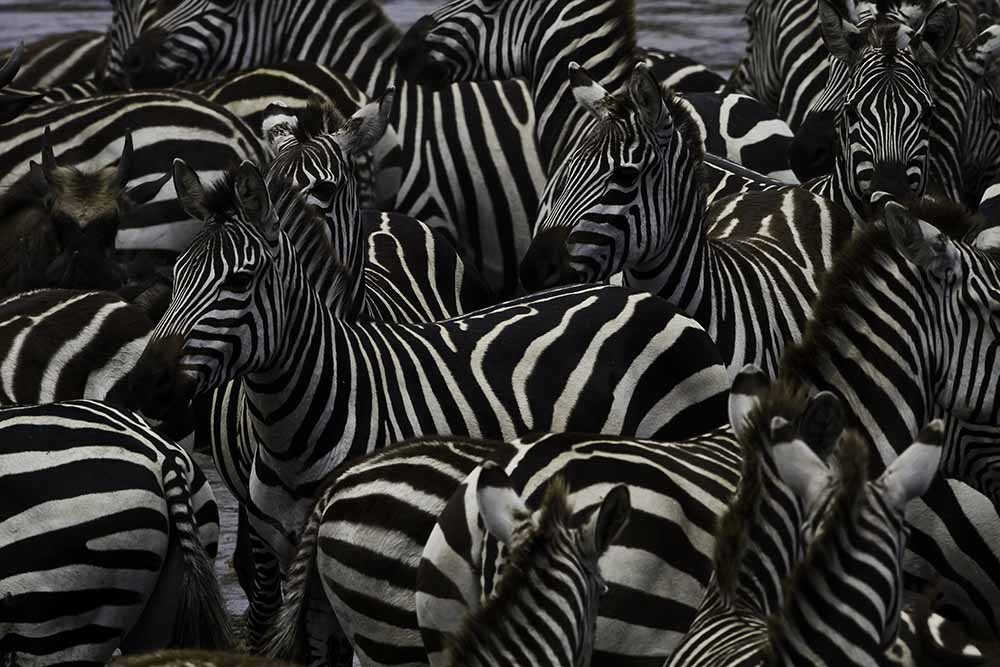 zebras at the river bank fine art photography