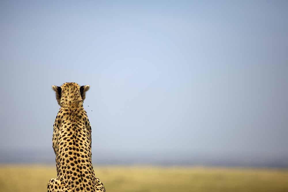 Cheetah, Maasai Mara fine art photography