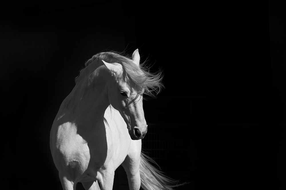 Stallion on Black fine art photography