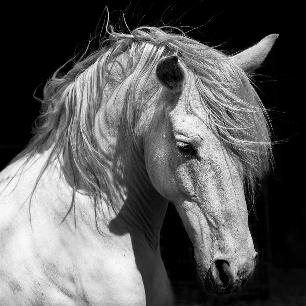 White Stallion Horse Andalusian BW Dressage fine art photography