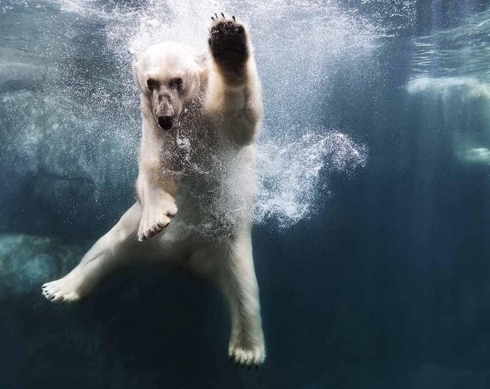 Polarbear in water fine art photography