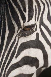 Plains zebra (Equus burchelli), close-up of eye