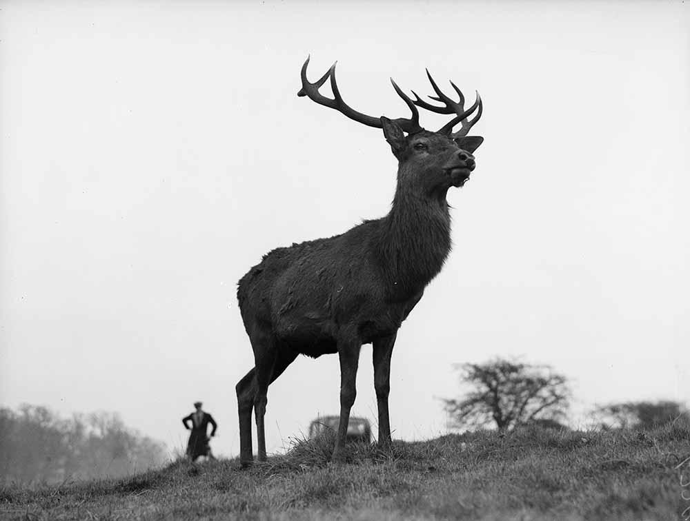 London Deer fine art photography