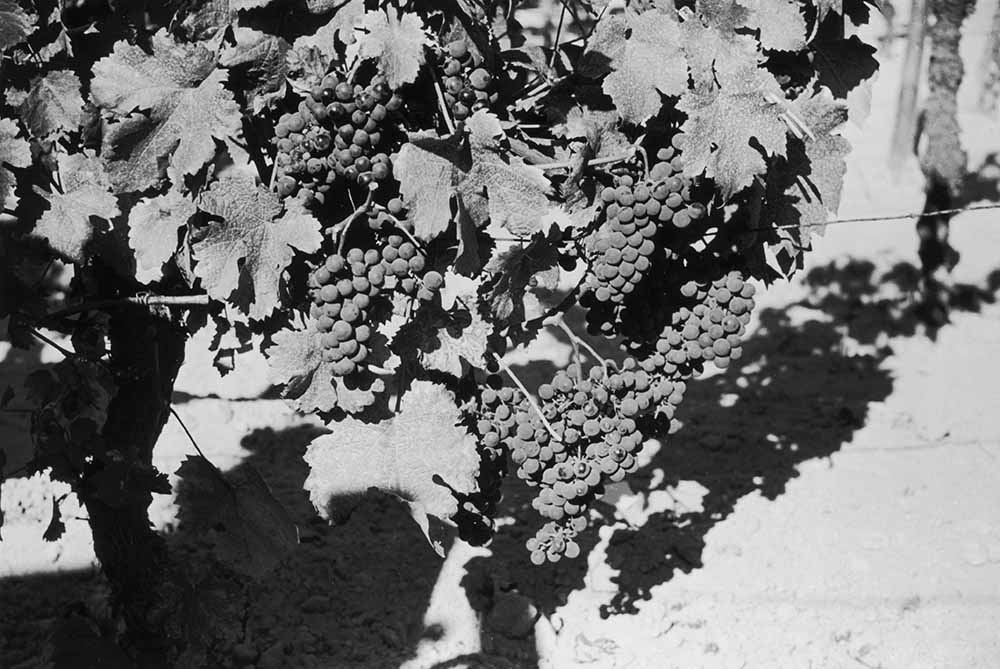 Grapevine fine art photography