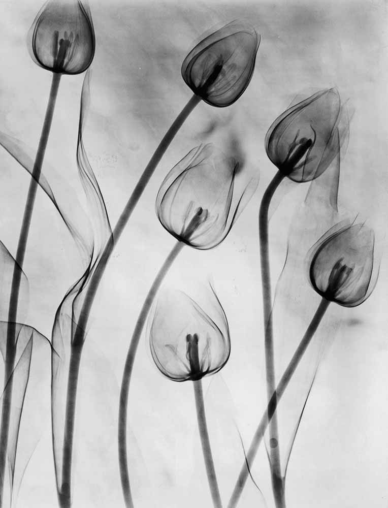X-Ray Tulips On White fine art photography