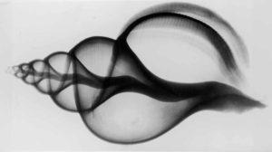 X-Ray Whelk Shell