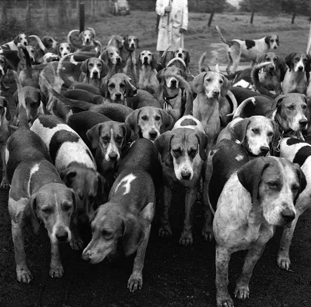 Foxhounds fine art photography