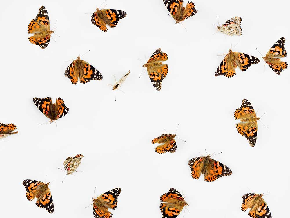 Butterflies on pure white ground fine art photography