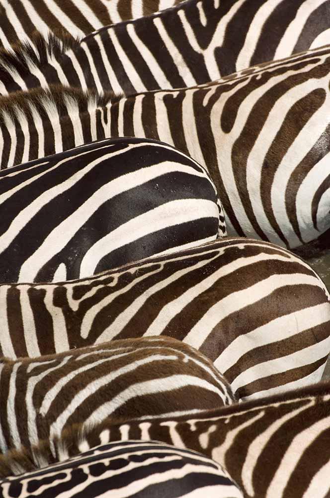Zebras' (Equus quagga) stripes, Masai Mara, Kenya fine art photography