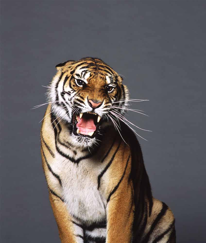 Bengal tiger from Wild Animals fine art photography