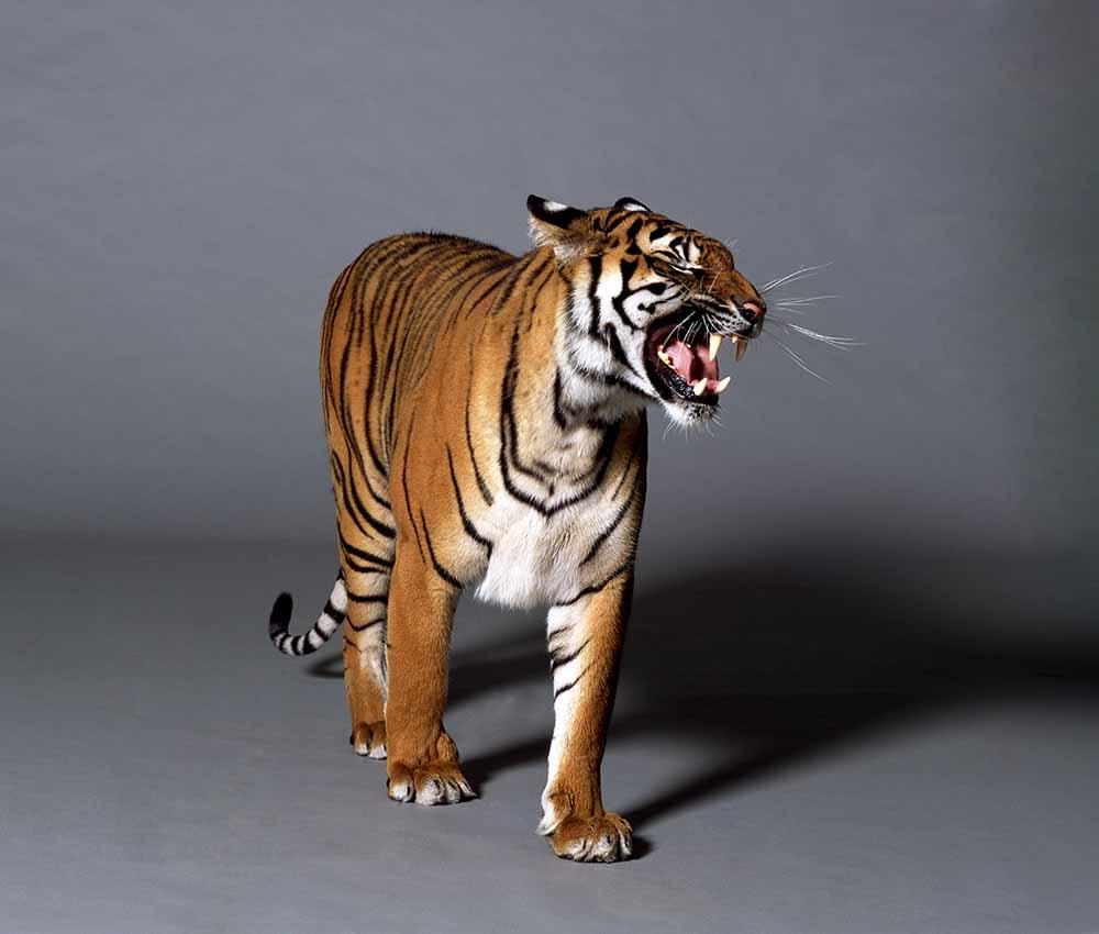 Bengal tiger fine art photography