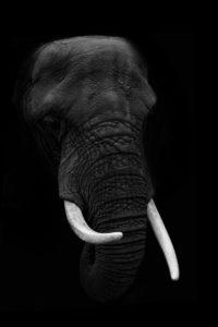 Close-Up Of Elephant Against Black Background