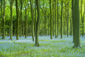 Bluebell Wood, The Cotswolds, UK