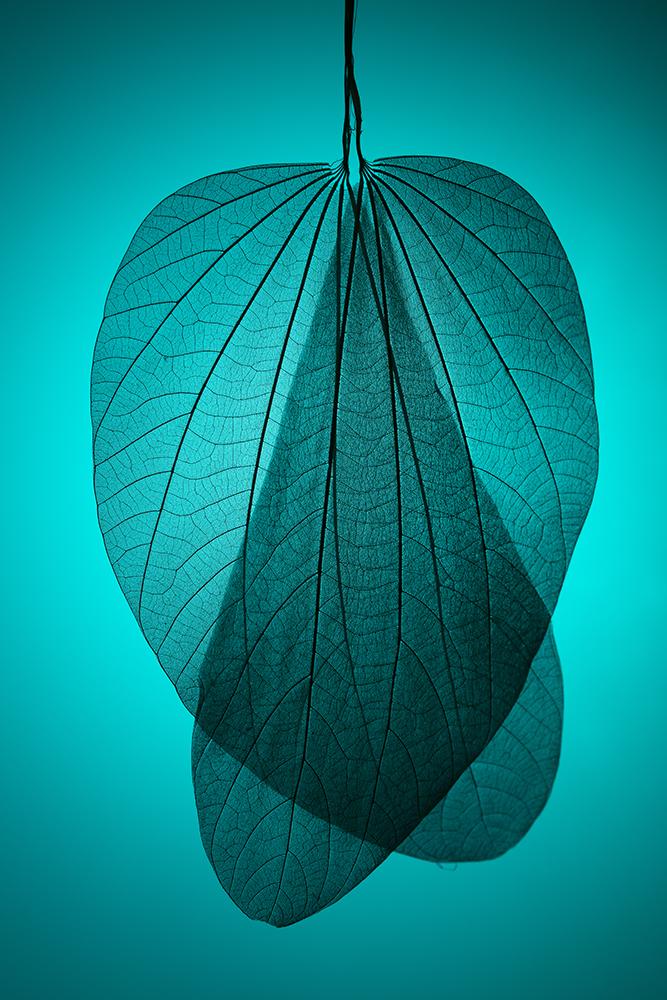 Leaf Skeleton on Cyan Background fine art photography