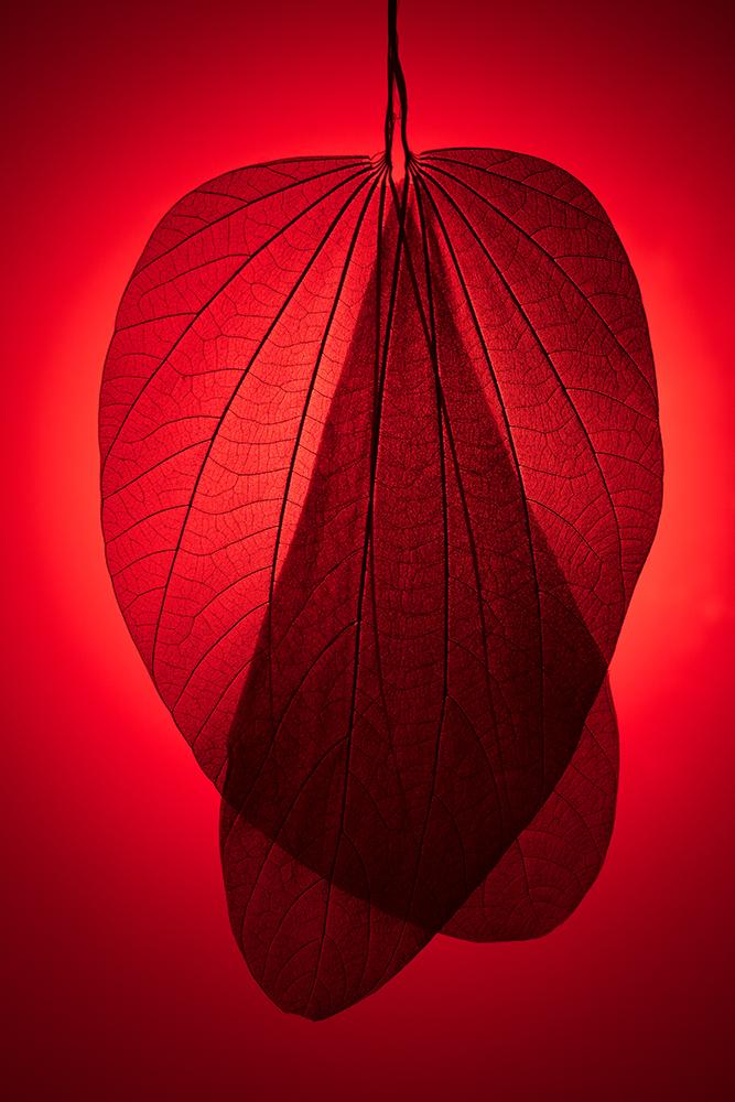 Red Toned Leaf Skeleton fine art photography