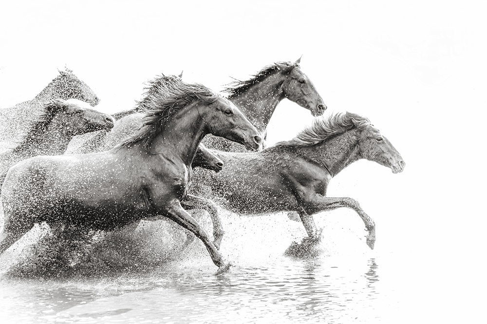 Herd of Wild Horses Running in Water fine art photography