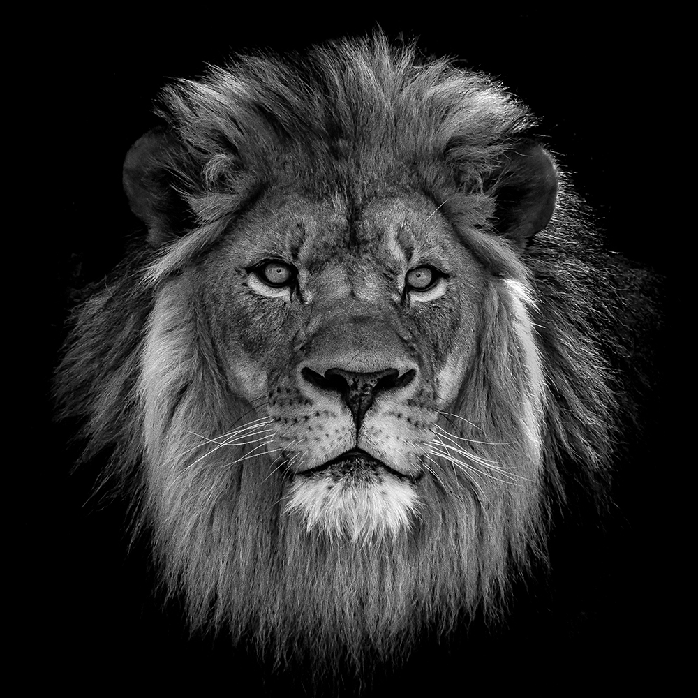 Close-Up Of Lion Against Black Background fine art photography