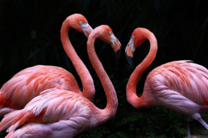 3 Flamingo on Black