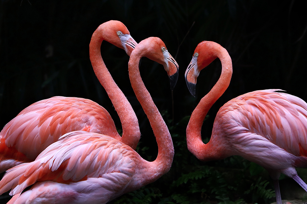 3 Flamingo on Black fine art photography