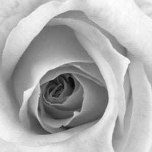 Beautiful Rose Closeup